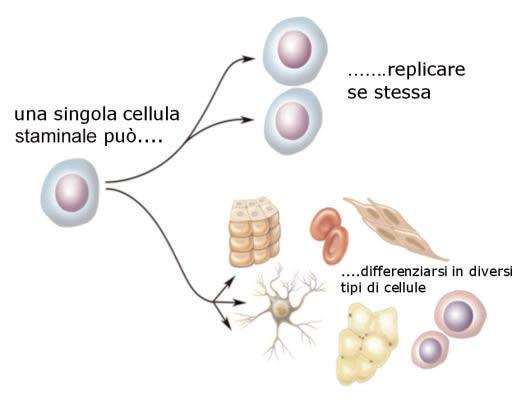Adoces treviso cosa sono le cellule staminali - Diversi tipi di trecce ...