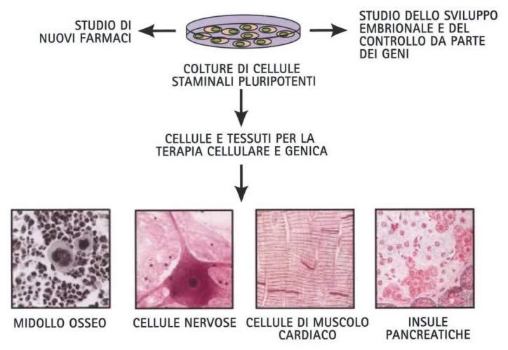 Adoces treviso le speranze della ricerca - Che forma hanno le cellule dei diversi tessuti ...